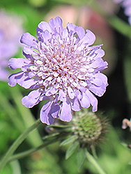 Butterfly Blue Pincushion Flower (Scabiosa 'Butterfly Blue') at Plants Unlimited