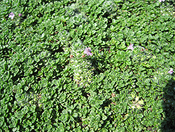 Elfin Creeping Thyme (Thymus praecox 'Elfin') at Plants Unlimited
