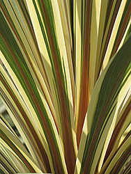 Torbay Dazzler Grass Palm (Cordyline australis 'Torbay Dazzler') at Plants Unlimited
