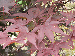 Red Emperor Japanese Maple (Acer palmatum 'Red Emperor') at Plants Unlimited