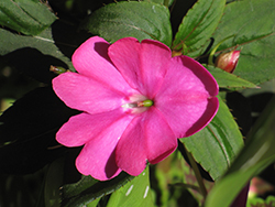 Infinity® Blushing Lilac New Guinea Impatiens (Impatiens hawkeri 'Visinfblla') at Plants Unlimited
