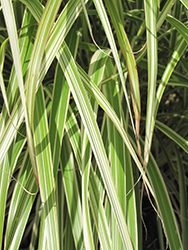 Morning Light Maiden Grass (Miscanthus sinensis 'Morning Light') at Plants Unlimited