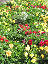 Figaro™ Mix Dahlia (Dahlia 'Figaro Mix') at Plants Unlimited