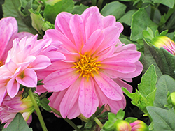 Dahlietta® Lisa Pink Dahlia (Dahlia 'Dahlietta Lisa Pink') at Plants Unlimited