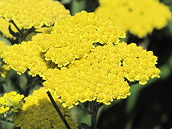 Moonshine Yarrow (Achillea 'Moonshine') at Plants Unlimited