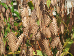 Northern Sea Oats (Chasmanthium latifolium) at Plants Unlimited
