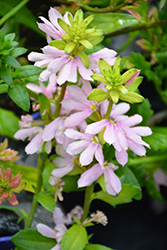 Whirlwind® Pink Fan Flower (Scaevola aemula 'Whirlwind Pink') at Plants Unlimited