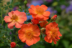 Oso Easy® Paprika Rose (Rosa 'ChewMayTime') at Plants Unlimited
