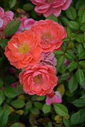 Oso Easy® Mango Salsa Rose (Rosa 'ChewperAdventure') at Plants Unlimited