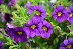 Superbells® Blue Calibrachoa (Calibrachoa 'Superbells Blue') at Plants Unlimited