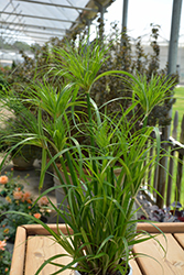 Prince Tut Egyptian Papyrus (Cyperus 'Prince Tut') at Plants Unlimited