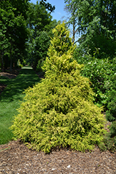 Golden Mop Falsecypress (Chamaecyparis pisifera 'Golden Mop') at Plants Unlimited
