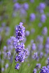 Hidcote Blue Lavender (Lavandula angustifolia 'Hidcote Blue') at Plants Unlimited