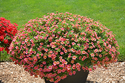 Superbells® Tropical Sunrise Calibrachoa (Calibrachoa 'INCALTRSUN') at Plants Unlimited