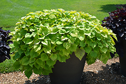 Sweet Caroline Bewitched Green With Envy™ Sweet Potato Vine (Ipomoea batatas 'NCORNSP-020BWGWE') at Plants Unlimited