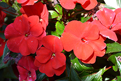 SunPatiens Compact Fire Red New Guinea Impatiens (Impatiens 'SAMKIMP039') at Plants Unlimited