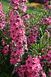 Angelface® Perfectly Pink Angelonia (Angelonia angustifolia 'Balang15434') at Plants Unlimited