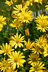 Bright Lights™ Yellow African Daisy (Osteospermum 'Bright Lights Yellow') at Plants Unlimited