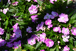 Infinity® Lavender New Guinea Impatiens (Impatiens hawkeri 'Infinity Lavender') at Plants Unlimited