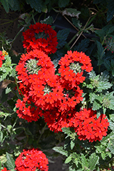Superbena® Royale Red Verbena (Verbena 'AKIV5-4') at Plants Unlimited