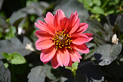 Dahlightful® Sultry Scarlet Dahlia (Dahlia 'G13525') at Plants Unlimited