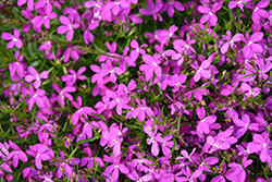 Hot® Purple Star Lobelia (Lobelia 'Hot Purple Star') at Plants Unlimited