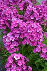 Grape Lollipop™ Garden Phlox (Phlox paniculata 'Ditomsur') at Plants Unlimited