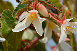 Bossa Nova® Pure White Begonia (Begonia boliviensis 'Bossa Nova Pure White') at Plants Unlimited