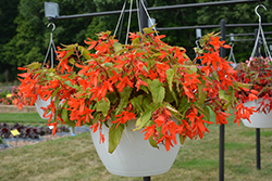 Waterfall® Encanto Orange® Begonia (Begonia boliviensis 'Encanto Orange') at Plants Unlimited
