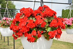 Vermillion Red Begonia (Begonia 'Vermillion Red') at Plants Unlimited