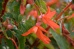Bossa Nova® Orange Shades Begonia (Begonia boliviensis 'Bossa Nova Orange Shades') at Plants Unlimited