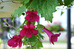Lofos® Wine Red Creeping Gloxinia (Lophospermum 'Sun-asaro') at Plants Unlimited