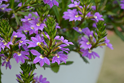 Blue Haze Fan Flower (Scaevola aemula 'Blue Haze') at Plants Unlimited