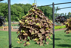 Sweet Caroline Sweetheart Red™ Sweet Potato Vine (Ipomoea batatas 'Sweet Caroline Sweetheart Red') at Plants Unlimited
