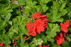 Calliope® Large Scarlet Fire Geranium (Pelargonium 'Calliope Large Scarlet Fire') at Plants Unlimited