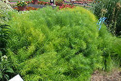 Narrow-Leaf Blue Star (Amsonia hubrichtii) at Plants Unlimited
