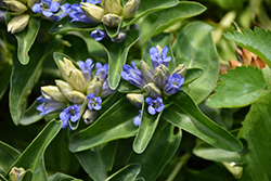 Blue Cross Gentian (Gentiana cruciata 'Blue Cross') at Plants Unlimited
