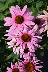 Prairie Splendor Coneflower (Echinacea purpurea 'Prairie Splendor') at Plants Unlimited