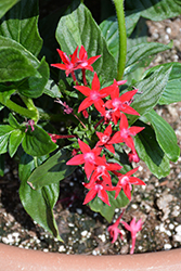 Starcluster™ Red Star Flower (Pentas lanceolata 'Starcluster Red') at Plants Unlimited