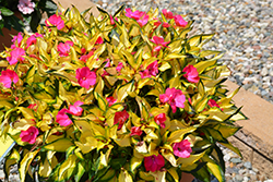 SunPatiens® Compact Tropical Rose New Guinea Impatiens (Impatiens 'SunPatiens Compact Tropical Rose') at Plants Unlimited