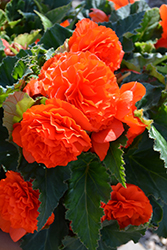 Nonstop® Orange Begonia (Begonia 'Nonstop Orange') at Plants Unlimited