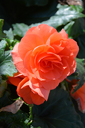 Nonstop® Deep Salmon Begonia (Begonia 'Nonstop Deep Salmon') at Plants Unlimited