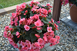 Solenia® Light Pink Begonia (Begonia 'Solenia Light Pink') at Plants Unlimited