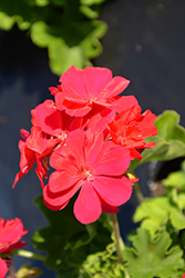 Calliope® Medium Hot Pink Geranium (Pelargonium 'Calliope Medium Hot Pink') at Plants Unlimited