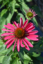 Kismet® Raspberry Coneflower (Echinacea 'TNECHKR') at Plants Unlimited