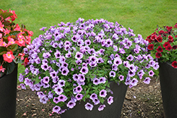 Supertunia® Bordeaux Petunia (Petunia 'Supertunia Bordeaux') at Plants Unlimited
