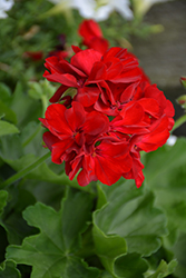 Timeless™ Fire Geranium (Pelargonium 'Cante Fir09') at Plants Unlimited