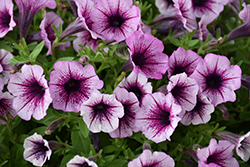 Supertunia® Mulberry Charm Petunia (Petunia 'Supertunia Mulberry Charm') at Plants Unlimited