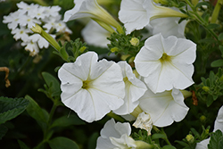 Supertunia® White Petunia (Petunia 'Supertunia White') at Plants Unlimited