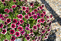 Crazytunia® French Kiss Petunia (Petunia 'Crazytunia French Kiss') at Plants Unlimited